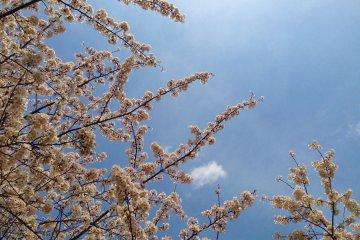 <p>湛蓝的天空是樱花最美的背景。</p>
