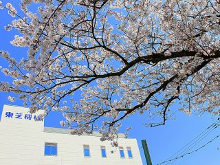 This cherry blossom tree adds drama to the entrance of this building's compound.