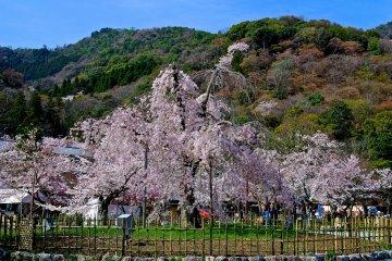 거대한 벚나무
