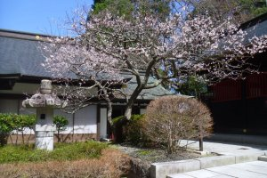 In spring, you can see blossoms, for example this plum tree.