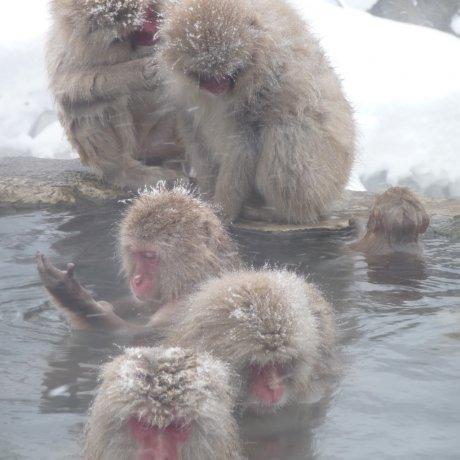 ลิงหิมะแช่น้ำพุร้อน