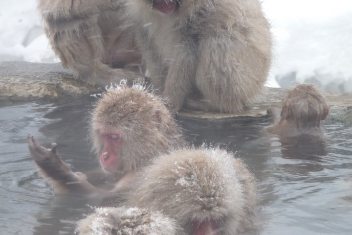 Snow Monkeys Taking an Onsen