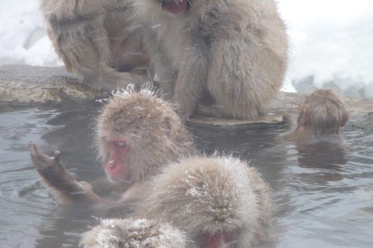 Snow Monkeys Taking an Onsen