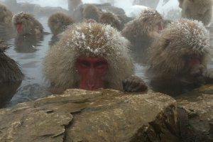 Snow monkey in natural hot spring