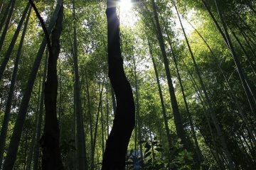 <p>The sunlight through the bamboo canopy.</p>