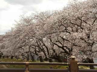 つくも橋ほとりに咲き誇る満開の桜
