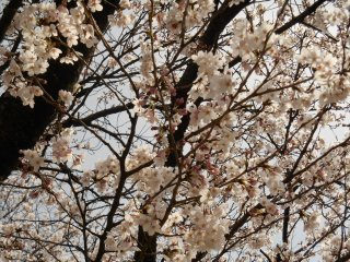 温かい日差しを浴びて、幸せそうな桜たち