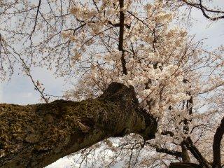 足羽川沿いに咲く重厚な桜の木の幹