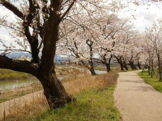 桜のシーズンでも、平日には人一人いない足羽川沿いの遊歩道