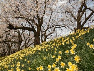 土手に咲く水仙と桜並木