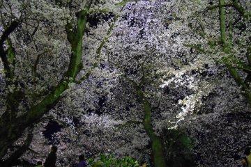 아스와 강둑에 벚꽃이 핀다. 예쁘다!