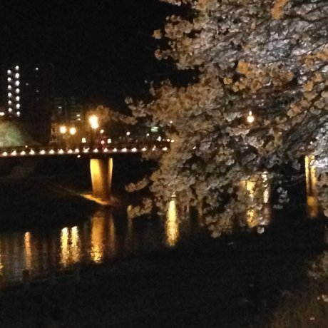 Night-time Ohanami: Asuwa Riverbank