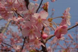 Hermosas flores Kawazu-zakura.