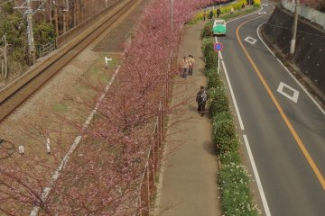1000 Kawazu-zakura cherry trees near Miura-kaigan Station begin to bloom in late January to early February and last for a month.