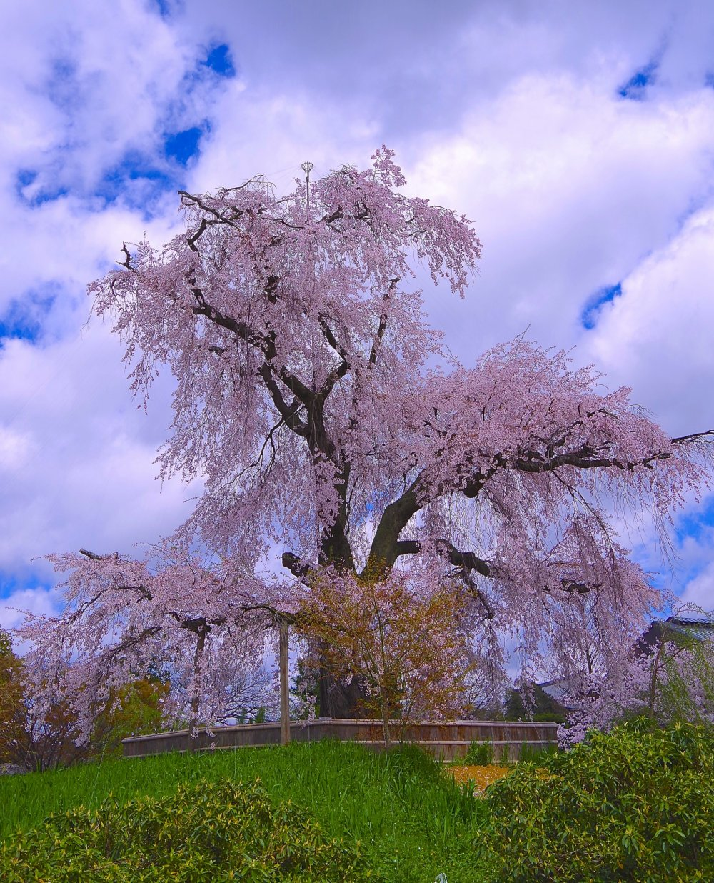 Gorgeous weeping cherry: The most popular cherry trees in Kyoto!