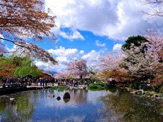 680 cherry trees are scattered around 86600 square meters of Japanese gardens