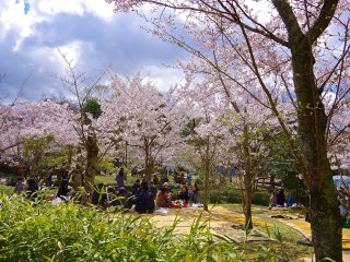 Cherry blossoms in early April