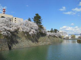 ดอกซากุระและคูน้ำบริเวณปราสาท