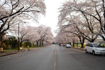 Beautiful, Overlooked Sakura Spots