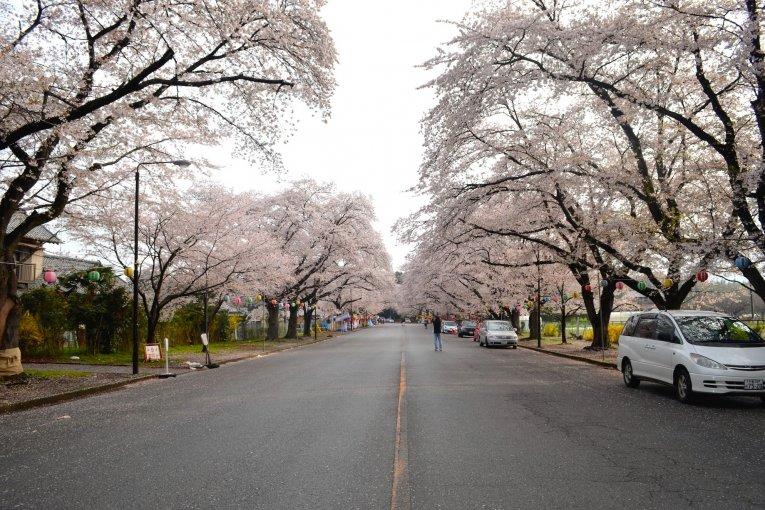 Cantik! Lihat Sakura Ini