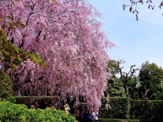 Weeping cherry tree beside Ying & Yang Gardens