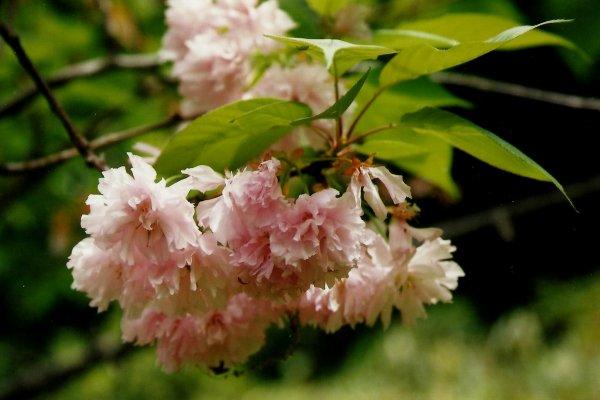 ยาเอซากุระ (八重桜)ซากุระที่มีมากกว่า 5 กลีบ (ภาพถ่ายด้วยกล้องฟิล์ม)