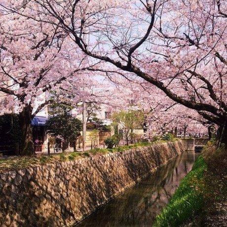 เที่ยวชมซากุระที่ถนนสายนักปราชญ์