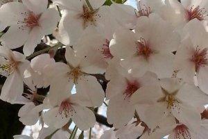 ดอกซากุระสีขาวที่บานสะพรั่งสวยงามยิ่งนัก