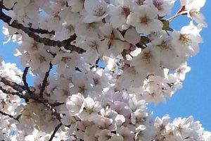 ต้นซากุระสีขาว