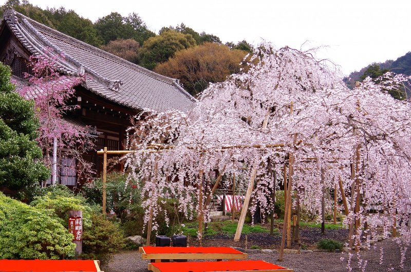 <p>Giant weeping cherry tree radiating strong positive power</p>