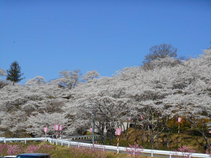 시바타 사쿠라 축제 때 후나오카 성곽 공원 주차장에서 본 벚꽃