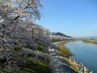 An endless line of 1000 cherry trees and the beautiful Shiroishi River