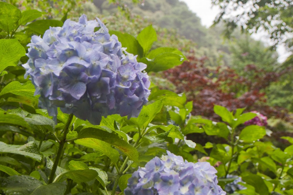 Colors of the Hydrangea Festival