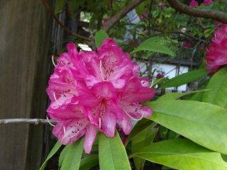 โรโดเด็นดร้อม (rhododendron) หรือกุหลาบพันปี