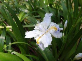 ดอกไอริสป่า เล็กๆ น่ารัก คอยต้อนรับอยู่ตลอดทาง
