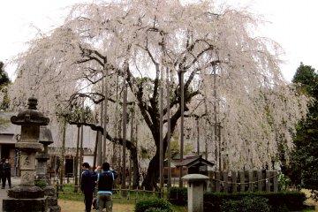 후쿠이에서 아스와야마 산책