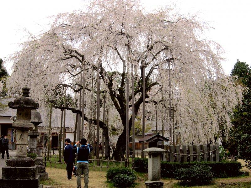 아스와 신사의 있는 370년 된 수양 벚나무