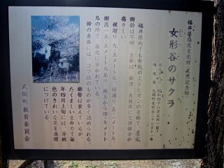 Sign explaining this old Sakura of Onaga-tani (Onaga Valley). It reads that the tree is of the Edohigashi type, with its age unknown! Although the top of the tree along with boughs are terribly damaged, with its amazing resilience it still blooms every spring.