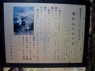 「女形谷の桜」説明文によると、品種はエドヒガシ、樹齢不詳! 頭頂と大枝は欠損が激しいが、たくましい生命力で毎年花を咲かせるそうだ