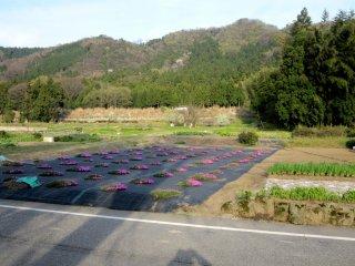 「女形谷の桜」は人里離れた辺鄙な田舎の片隅にひっそりと佇んでいる・・・