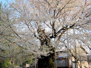 「女形谷」の桜、もう一枚