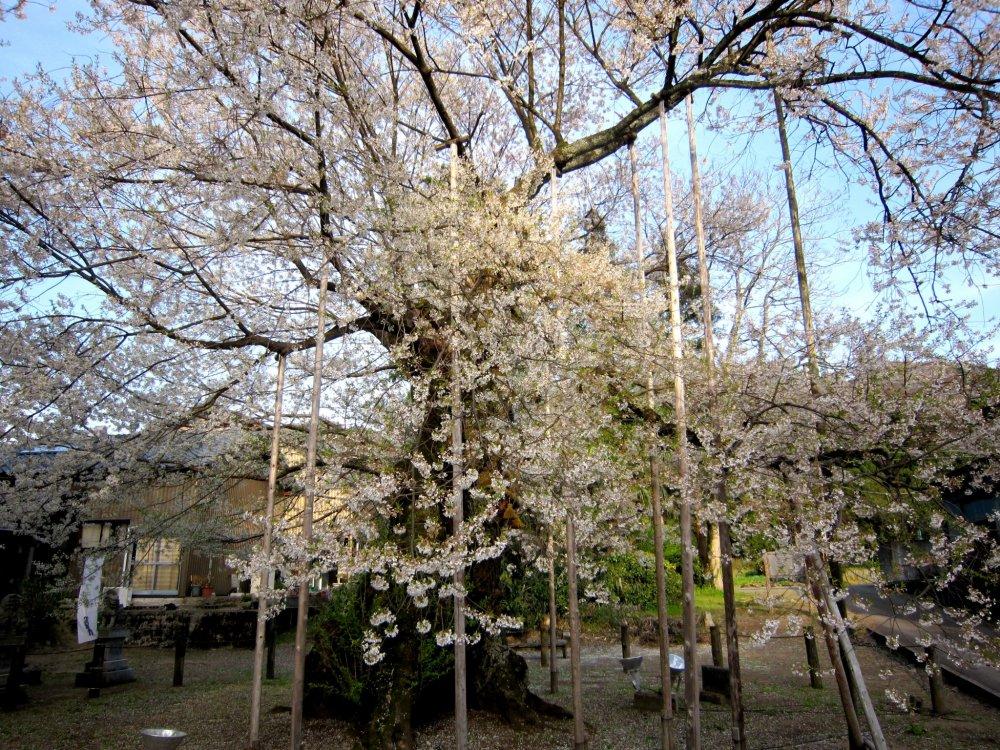 老木を支える添え木の数々