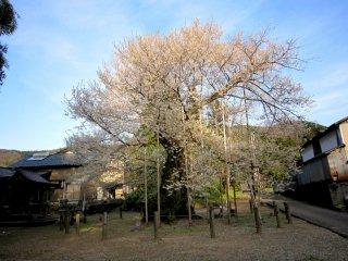 青空の下、威風堂々聳える「女形谷の桜」