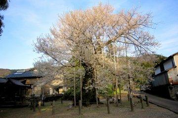 Cây anh đào cổ thụ tại thung lũng Onaga , Fukui