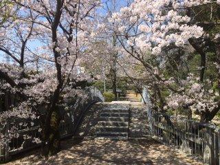Di bawah bayangan sakura