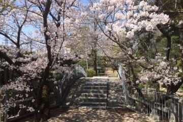 <p>In the shadow of sakura</p>