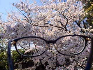 Sakura melalui kacamata saya