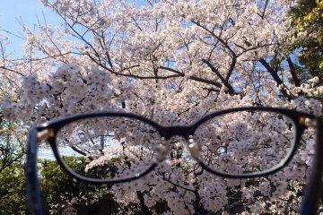 <p>Sakura through my glasses</p>
