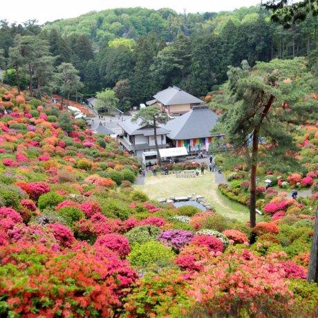 Lễ hội hoa đỗ quyên đẹp nhất ở Tokyo