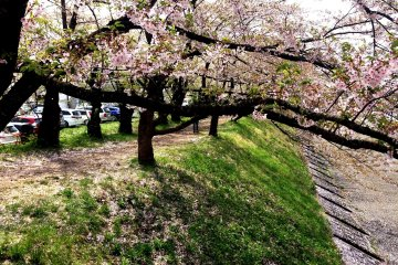 <p>The cherry blossom is almost finished in May when Golden Week rolls in&nbsp;</p>